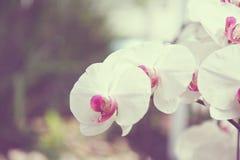 Орхидеи белых цветков Стоковое Фото