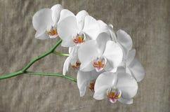 Орхидеи белых цветков Стоковая Фотография