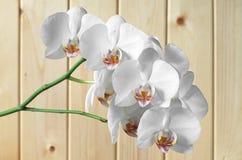 Орхидеи белых цветков Стоковое фото RF