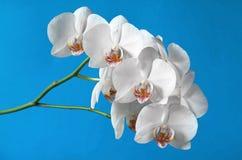 Орхидеи белых цветков Стоковое Изображение RF