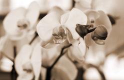 орхидеи ветви большие белые Стоковое фото RF