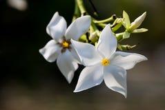 2 орхидеи висят вниз Стоковые Фото