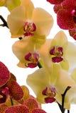 Орхидеи в желтом и живом пинке Стоковая Фотография