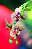 Орхидеи и бутоны с пятнами Стоковые Изображения