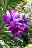 орхидеи лиловые Стоковые Фото