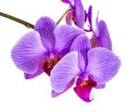 Орхидеи на изолированной предпосылке красивый цветок разветвляет орхидеи на белой предпосылке Стоковые Фотографии RF