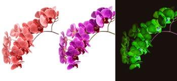 Орхидеи на изолированной предпосылке красивый цветок разветвляет орхидеи Стоковое Фото