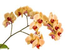 Орхидеи на изолированной предпосылке красивый цветок разветвляет орхидеи на белой предпосылке Стоковое фото RF