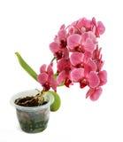 Орхидеи на изолированной предпосылке красивый цветок разветвляет орхидеи на белой предпосылке Стоковое Фото