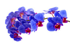 Орхидеи на изолированной предпосылке красивый цветок разветвляет орхидеи на белой предпосылке Стоковое Изображение