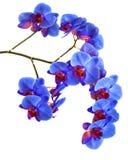 Орхидеи на изолированной предпосылке красивый цветок разветвляет орхидеи на белой предпосылке Стоковое Изображение RF