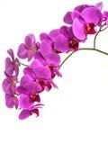 Орхидеи на изолированной предпосылке красивый цветок разветвляет орхидеи Стоковое Изображение RF