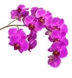 Орхидеи на изолированной предпосылке красивый цветок разветвляет орхидеи Стоковая Фотография RF