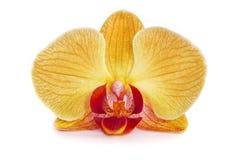 Орхидеи на изолированной предпосылке красивый цветок разветвляет орхидеи Стоковая Фотография