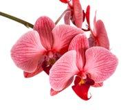 Орхидеи на изолированной предпосылке красивый цветок разветвляет орхидеи на белой предпосылке Стоковые Фото