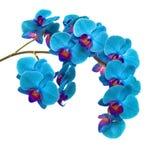 Орхидеи на изолированной предпосылке красивый цветок разветвляет орхидеи на белой предпосылке Стоковая Фотография