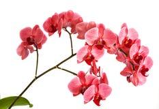 Орхидеи на изолированной предпосылке красивый цветок разветвляет орхидеи на белой предпосылке Стоковая Фотография RF