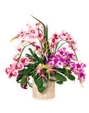 орхидеи пука Стоковое фото RF