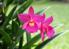 орхидеи тайские Стоковая Фотография