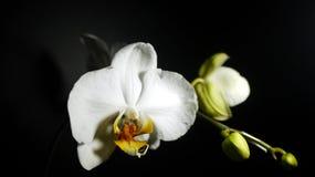 Орхидеи луны Стоковая Фотография RF