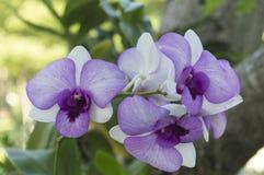 орхидеи фиолетовые Стоковые Изображения