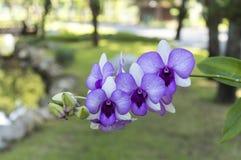 орхидеи фиолетовые Стоковая Фотография