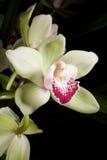 Орхидеи цветут (sp Cymbidium) стоковые изображения rf