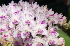 орхидеи Стоковое Изображение