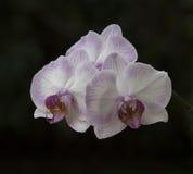 3 орхидеи Стоковые Фотографии RF