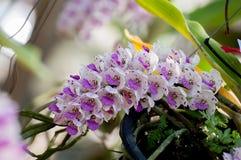 Орхидеи retusa Rhynchostylis Стоковое Изображение RF