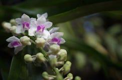 Орхидеи Wildflower, gigantea Rhynchostylist Стоковое Фото