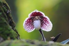 Орхидея дамы тапочки Стоковые Изображения