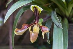 Орхидея дамы тапочки Стоковое Изображение RF