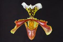 Орхидея дамы тапочки стоковая фотография
