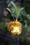 Орхидея бабочки Стоковая Фотография