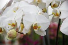 Орхидея бабочки Стоковое Изображение RF