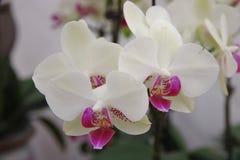 Орхидея бабочки Стоковое Фото