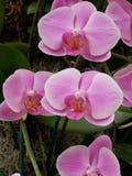 Орхидея ботанического сада белая, фиолетовый, желтый цвет Стоковое Изображение