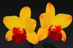Орхидея волшебника Rhynchosophrocattleya маленькая Стоковое Изображение