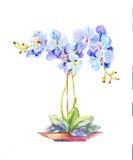 Орхидея в горшке Орхидея акварели голубая в баке Стоковое Фото