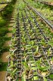 Орхидея в питомнике завода, Таиланд питомника Стоковые Фотографии RF