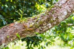 Орхидея голубя Стоковые Фотографии RF