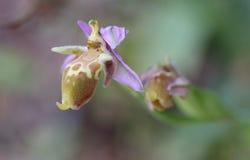 Орхидея епископов на Крите Стоковые Изображения RF