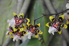 Орхидея золота Стоковое Изображение