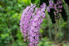 Орхидея лисохвоста с полным цветением Стоковые Фотографии RF
