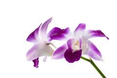 Орхидея исчерченная фиолетом Стоковые Изображения RF