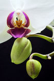 Орхидея и бутоны Стоковое Изображение