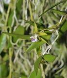 Орхидея кинжала Стоковая Фотография