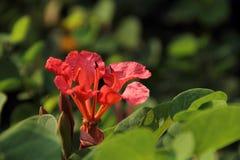 Орхидея 2 красных цветов Стоковое Фото