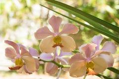 Орхидея на ветви с зелеными листьями Стоковое Изображение RF